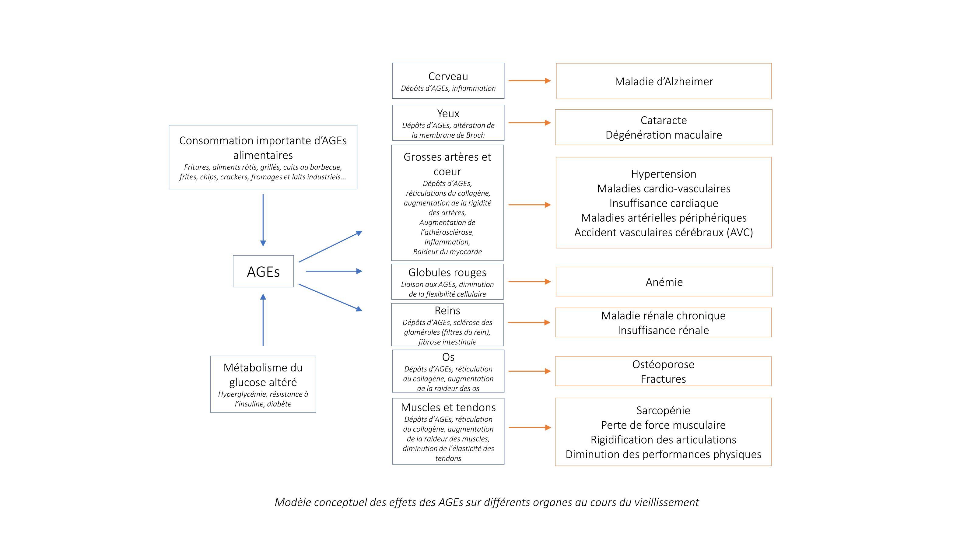Impacts des AGEs sur les différents organes